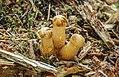 Gymnopilus viridans 363911.jpg