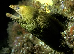 Gymnothorax prasinus (Yellow moray).jpg