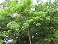 Gyrocarpus americanusTree06.JPG