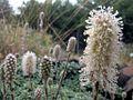 H20100807-3024--Petrophytum caespitosum--RPBG-1 (9441956526).jpg