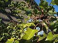 H20130909-9824—Berberis aquifolium—Katherine Greenberg (9780635025).jpg