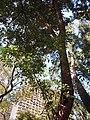 HK CWB 銅鑼灣 Causeway Bay 維多利亞公園 Victoria Park tree trunk n green leaves December 2019 SSG 09.jpg