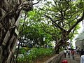HK TST Nathan Road green Sidewalk Chinese Banyan trees Aug-2015 DSC (12).JPG