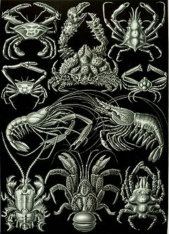 """Decapoda"" from Ernst Haeckel's Artforms of Nature, 1904"