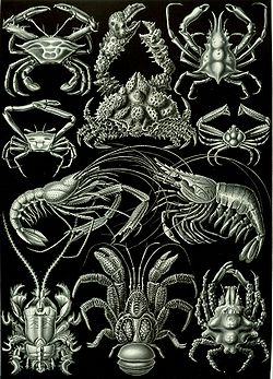 Crustáceos decápodes, do livro de Ernst Haeckel Artforms of Nature, 1904