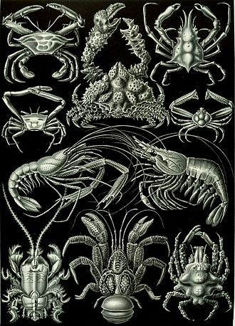 Decapods, from Ernst Haeckel's 1904 work Kunstformen der Natur Haeckel Decapoda.jpg