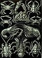 Haeckel Decapoda.jpg