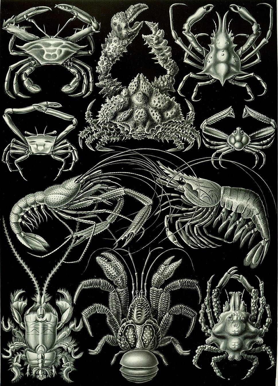 Haeckel Decapoda