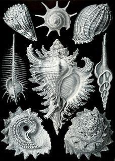Prosobranchia Historic group of molluscs