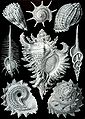 Haeckel Prosobranchia.jpg