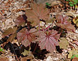 Hairy Alumroot Heuchera villosa Purple Form Plant 2400px.JPG