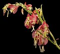 Haloragodendron glandulosum - Flickr - Kevin Thiele.jpg