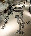 Haplocanthosaurus vernal 1.jpg