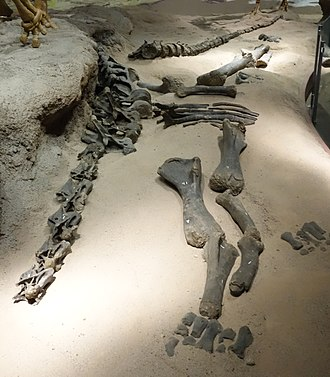 Haplocanthosaurus - Specmen FHPR 1106