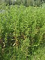 Harig wilgenroosje bijna bloeiende planten (Epilobium hirsutum).jpg