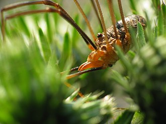 Opiliones - A harvestman (a male Phalangium opilio), showing the almost fused arrangement of abdomen and cephalothorax that distinguishes these arachnids from spiders