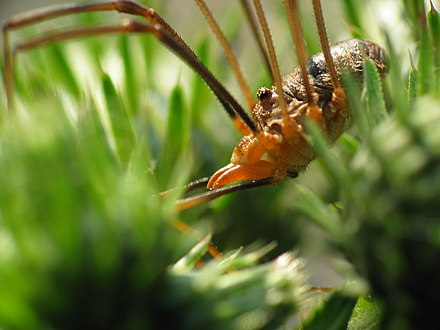 A harvestman (a male Phalangium opilio), showing the almost fused arrangement of abdomen and cephalothorax that distinguishes these arachnids from spiders Harvestman macro.jpg