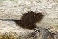 Harvestmen arachnids grouping.jpg