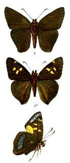 <i>Hasora anura</i> species of insect
