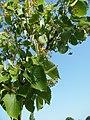 Hautvillers-Ouville, Somme, Fr, Tilia henryana, fleurs en boutons.jpg