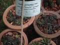 Haworthia from Lalbagh garden 8706.JPG