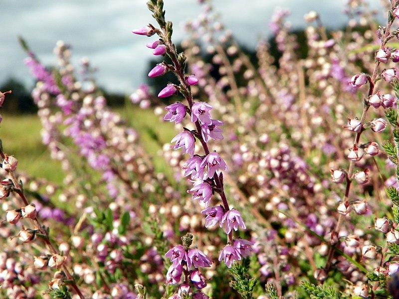 File:Heather (Calluna vulgaris) (8131469180).jpg