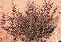 Hedeoma nana 1.jpg