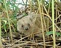 Hedgehog-en.jpg