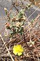 Helianthemum glomeratum vista.jpg