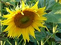 Helianthus annuus sunflower1.jpg