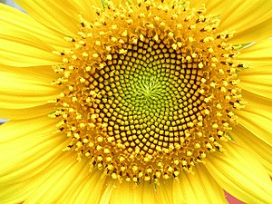 Helianthus annuus - Head displaying florets in spirals of 34 and 55 around the outside