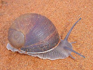 Acavoidea superfamily of molluscs