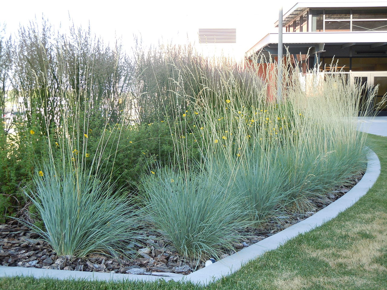 File helictotrichon sempervirens 6123791753 jpg for Blue grasses for the garden