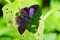 Heliophorus ila matsumurae male back 20131208.jpg