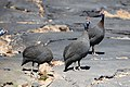 Helmetted Guineafowl-1510 - Flickr - Ragnhild & Neil Crawford.jpg
