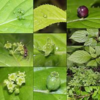 Helwingia japonica (Montage s3).jpg