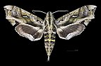 Hemeroplanes triptolemus MHNT CUT 2010 0 162 Cali Colombia Female dorsal.jpg