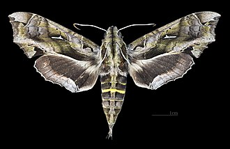 Hemeroplanes triptolemus - Image: Hemeroplanes triptolemus MHNT CUT 2010 0 162 Cali Colombia Female dorsal
