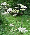 Hemlock Water Dropwort. Oenathe crocata. Umbelliferae - Flickr - gailhampshire.jpg