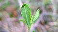 Hibbertia aspera leaf underside (15850128708).jpg