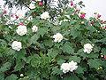 HibiscusMutabilis2.jpg