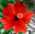 Hibiscus fifteen.jpg
