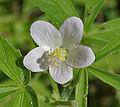 Hibiscus lobatus (Lahan Jaswand) in Hyderabad, AP W IMG 9075.jpg