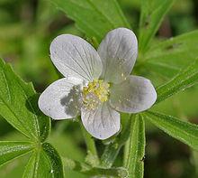 Hibiscus wikipedia hibiscus lobatus ccuart Images