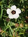 Hibiscus trionum Ketmia południowa 2014-10-12 02.jpg