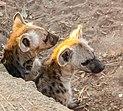 Hienas manchadas (Crocuta crocuta), parque nacional Kruger, Sudáfrica, 2018-07-26, DD 03.jpg