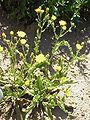 Hieracium amplexicaule0.jpg