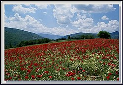 Poppy fields near Mount Ilgaz