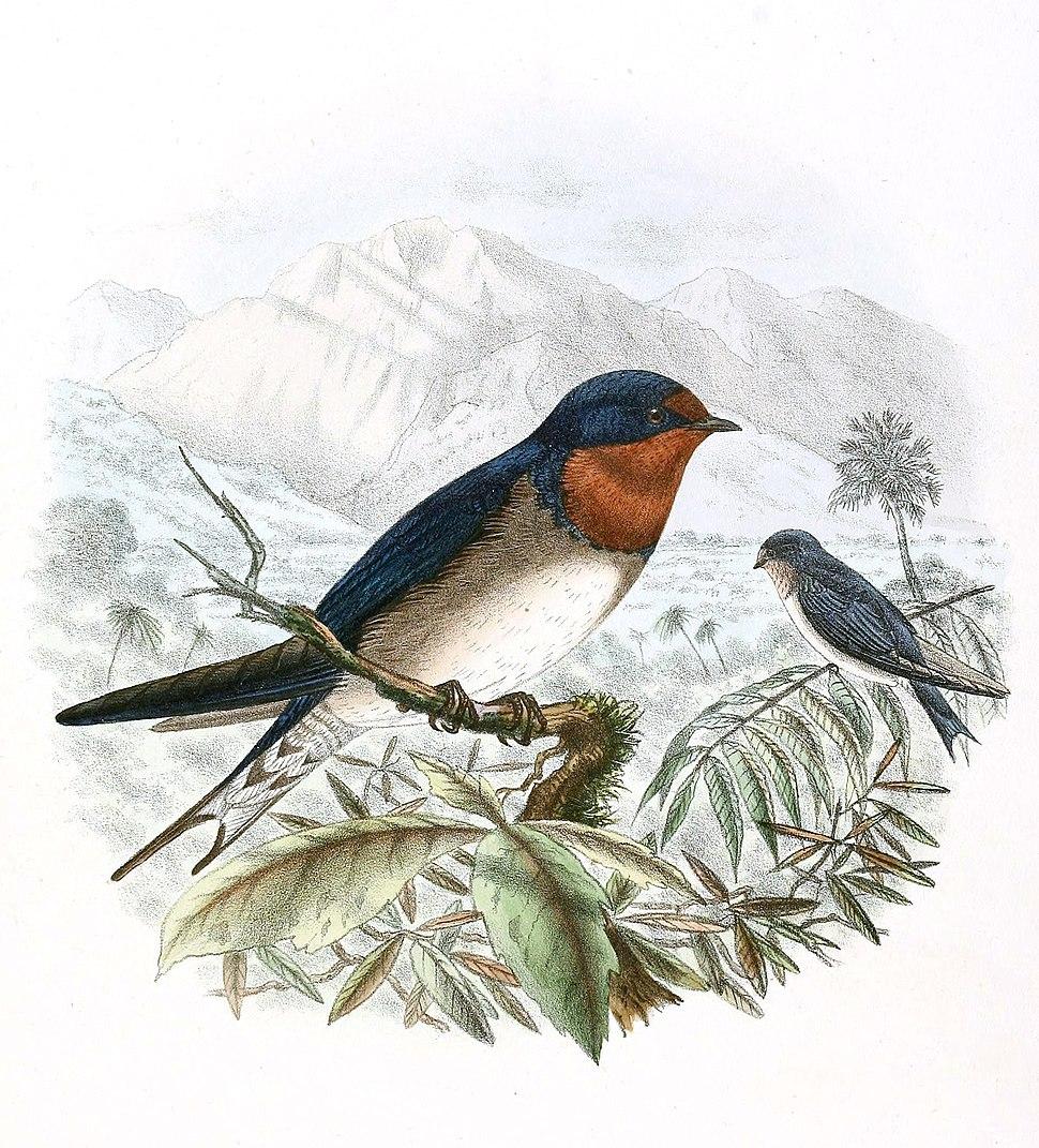 Hirundo angolensis, arcticincta race 1894