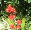 Hohenbergia stellata blooms from stem ksl.JPG